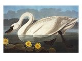 Common American Swan. Whistling Swan (Olor Colombianus), from 'The Birds of America' Prints by John James Audubon