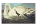 Trumpeter Swan (Olor Buccinator), Plate Ccccvi, from 'The Birds of America' Print by John James Audubon