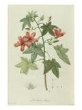 Lavatera Phoenicea. the Garden at Malmaison; Jardin De La Malmaison Prints by Etienne-Pierre Ventanat