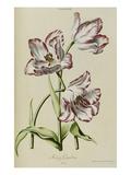 Tulip, from 'Hortus Nitidissimis Omnem Per Annum Superbiens Floribus' Poster by Christoph Jacob Trew