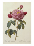 Rosa Gallica Aureliansis - La Duchesse D'Orleans. from 'Les Roses' Prints by P.J. and C.A. Redoute and Thory