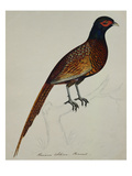 A Pheasant (Phasianus Colchicus) Prints by Christopher Atkinson