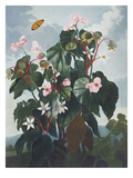Oblique Leaved Begonia.   from 'New Illustrations of the Sexual System of C Gicle-tryk af Robert John Thornton