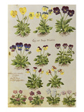 Pansies and Violas. from 'Camerarius Florilegium' Prints by Joachim Camerarius