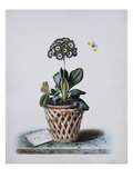 An Auricula in a Pot in a Basket Cachepot, with a Painted Lady and Orange Tip Butterflies Poster by Augusta Withers