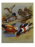 Mallard, Gadwell, Ruddy Shelduck, Common Shelduck Giclee Print by Archibald Thorburn