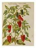 Indian Pepper. from 'Camerarius Florilegium' Giclée-Druck von Joachim Camerarius