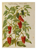 Indian Pepper. from 'Camerarius Florilegium' Art by Joachim Camerarius