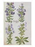 Campanulas. from &#39;Camerarius Florilegium&#39; Giclee Print by Joachim Camerarius