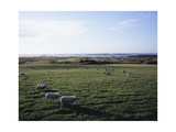 Sheep grazing at Royal Portrush Golf Club Photographic Print by Stephen Szurlej