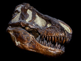 A Genuine Fossilized Skull of a T. Rex Photographic Print by  Stocktrek Images