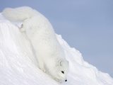 Arctic Fox (Alopex Lagopus) on Snow Drift, Tundra, Arctic Photographic Print by Matthias Breiter/Minden Pictures