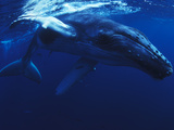 A Young Humpback Whale, Megaptera Novaeangliae Photographic Print by Mauricio Handler
