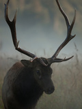 A Roosevelt Elk in an Old Growth Redwood Forest Photographic Print by Michael Nichols