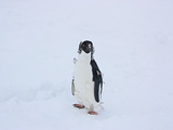 Portrait of a Molting Adelie Penguin, Pygoscelis Adeliae, Chick Photographic Print by Steve And Donna O'Meara