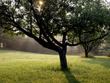 An Apple Orchard on an Early Summer Morning Photographic Print by Kenneth Ginn