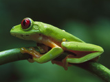 Red-Eyed Tree Frog (Agalychnis Callidryas) on Branch, Tropical Forests of Central and South America Photographic Print by Christian Ziegler/Minden Pictures