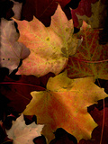 A Group of Maple Leaves in Fall Colour Photographic Print by Kenneth Ginn