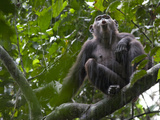 As Rain Falls, a Chimp Adds to the Calls Ringing Through the Forest Photographic Print by Ian Nichols