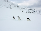 Adelie Penguins Walking Through Fresh Snow Photographic Print by Steve And Donna O'Meara