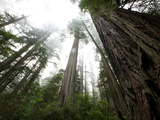 A Redwood Tree Canopy in Prairie Creek Redwoods State Park Photographic Print by National Geographic Photographer