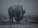 A Bison Standing in a Snowstorm in Yellowstone National Park Photographic Print by Mark Thiessen