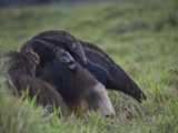 Giant Anteater, Myrmecophaga Tridactyla, Carrying Baby on Her Back Photographic Print by Roy Toft