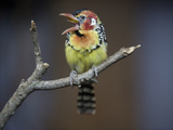 A Red and Yellow Barbet, Trachyphonus Erythrocephalus, Vocalizing Photographic Print by Joel Sartore
