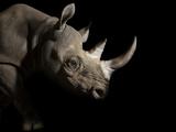 A Female Eastern Black Rhino, Diceros Bicornis Michaeli, Named Imara Stampa fotografica di Sartore, Joel