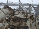 Komi Reindeer Herders Hold Up Temporary Pen Against Crush of Animals Photographic Print by Gordon Wiltsie