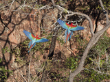 Pair of Green-Winged Macaws, Ara Chloroptera, in Flight Photographic Print by Roy Toft