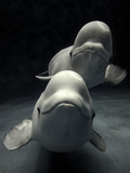 Beluga (Delphinapterus Leucas) Whale Pair Swimming Together, Shimane Aquarium, Japan Photographic Print by Hiroya Minakuchi/Minden Pictures