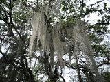 Spanish Moss Hangs from Trees Outside Monterrey Photographic Print by Raul Touzon