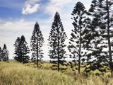 A Row of Pine Trees Line a Meadow on the Island of Molokai Photographic Print by Pete Ryan