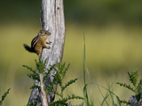 A Least Chipmunk, Tamias Minimus, at Rest on a Tree Limb Photographic Print by Roy Toft