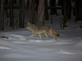 A Coyote in the Snow in Yellowstone National Park Photographic Print by Mark Thiessen