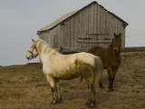 Draft Horses Outside a Barn in Snopa Villages Photographic Print by Gordon Wiltsie