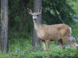 Portrait of a White-Tailed Deer, Odocoileus Virginianus Photographic Print by Roy Toft