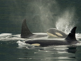 A Family of Orcas Swimming at the Surface of the Ocean Photographic Print by Ralph Lee Hopkins
