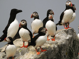 A Razorbill, Alca Torda, Sits Among a Group of Atlantic Puffins Photographic Print by Darlyne A. Murawski