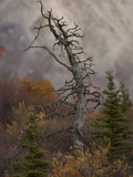 Dead Spruce Photographic Print by Michael S. Quinton