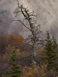 Dead Spruce Photographic Print by Michael S. Quinton