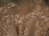 A Close Up of Stalks of Oat Grass Photographic Print by Paul Daimien