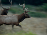 A Roosevelt Elk Bull Running in a Meadow in Prairie Creek State Park Photographic Print by Michael Nichols