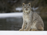 Canada Lynx (Lynx Canadensis) Sitting in the Snow, Kalispell, Montana Photographic Print by Matthias Breiter/Minden Pictures