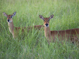 Female Impalas, Aepyceros Melampus, in the Tall Grass Photographic Print by Roy Toft