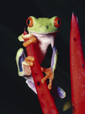 Red-Eyed Tree Frog (Agalychnis Callidryas) on (Heliconia Mathiasii) Rainforest, Costa Rica Photographic Print by Michael and Patricia Fogden/Minden Pictures