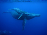Humpback Whale (Megaptera Novaeangliae) Mother and Calf, Ogasawara Island, Japan Photographic Print by Hiroya Minakuchi/Minden Pictures