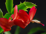 Close Up of a Christmas Cactus, Schlumbergera Truncatus, in Bloom Photographic Print by Darlyne A. Murawski