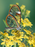 Glasswing Butterfly (Pteronymia Sp) of the Family Ithomiinae, Asteraceae, Cloud Forest, Costa Rica Photographic Print by Michael and Patricia Fogden/Minden Pictures